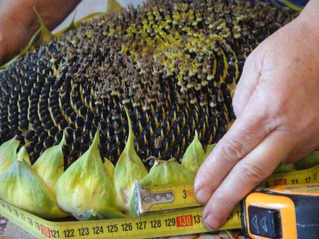 Семена подсолнечника – канадский кондитерский гибрид Tizian F 399