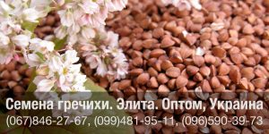 Семена гречихи купить в Украине – Элитная посевная гречиха оптом!