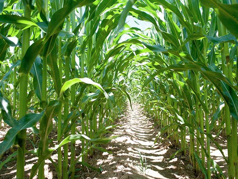Купить семена кукурузы оптом в Украине — канадская посевная кукуруза, гибрид Hydra-FF