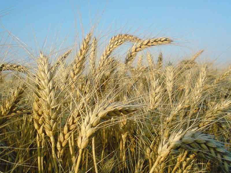 Канадская посевная пшеница двуручка Kastor — семена оптом в Украине