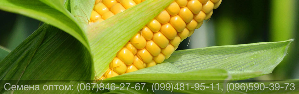 Купить семена кукурузы оптом — канадские гибриды