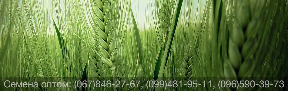 Купить семена пшеницы яровой оптом — канадские сорта