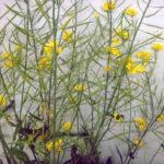 Поле канадского рапса — Примеры растений