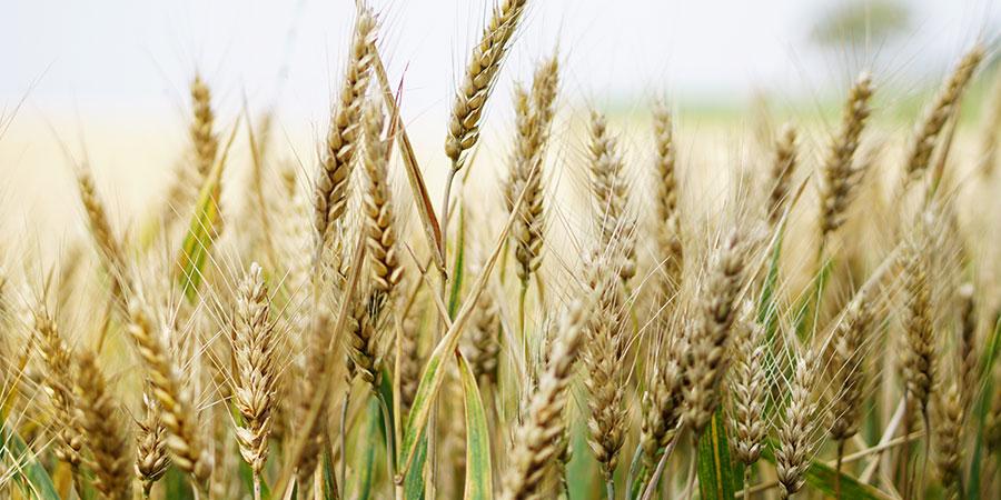 Оценка качества зерна пшеницы вУкраине (Cезон 2017-2018)