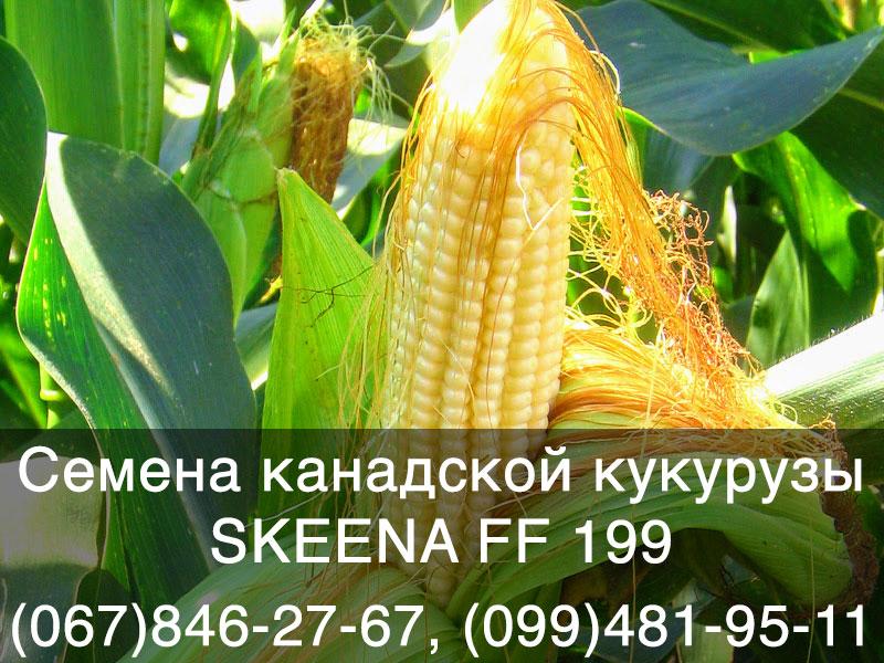Семена канадской кукурузы в Украине. Гибрид SKEENA FF 199