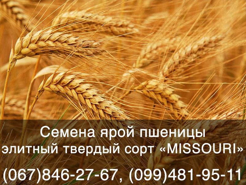 Семена ярой пшеницы – элитный твердый сорт «MISSOURI»