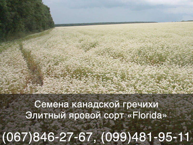Семена яровой гречихи — элитный канадский сорт «Florida»