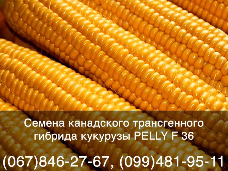 Купить оптом семена кукурузы в Украине: канадский трансгенный гибрид PELLY F 36