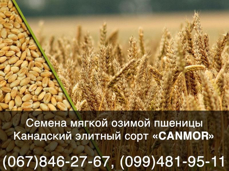 Семена озимой пшеницы — Озимый элитный канадский сорт CANMOR