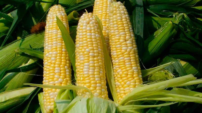 Семена кукурузы — канадский трансгенный гибрид