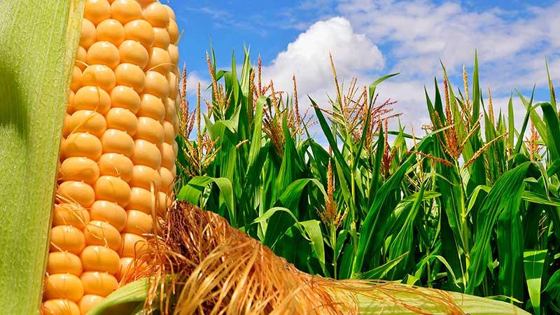 Семена кукурузы канадского гибрида