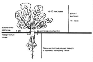 Агротехнология озимого рапса