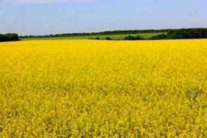 рапс сеют обычно после зерновых