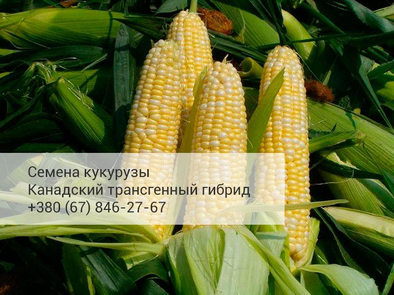 Высокоурожайный канадский гибрид кукурузы
