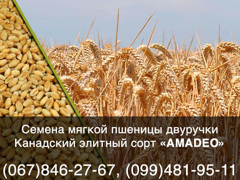 Семена мягкой пшеницы-двуручки канадского элитного сорта AMADEO