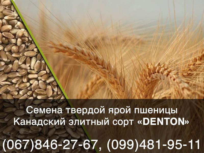 Предлагаем купить элитные семена твердой пшеницы канадского трансгенного (ГМО) сорта DENTON