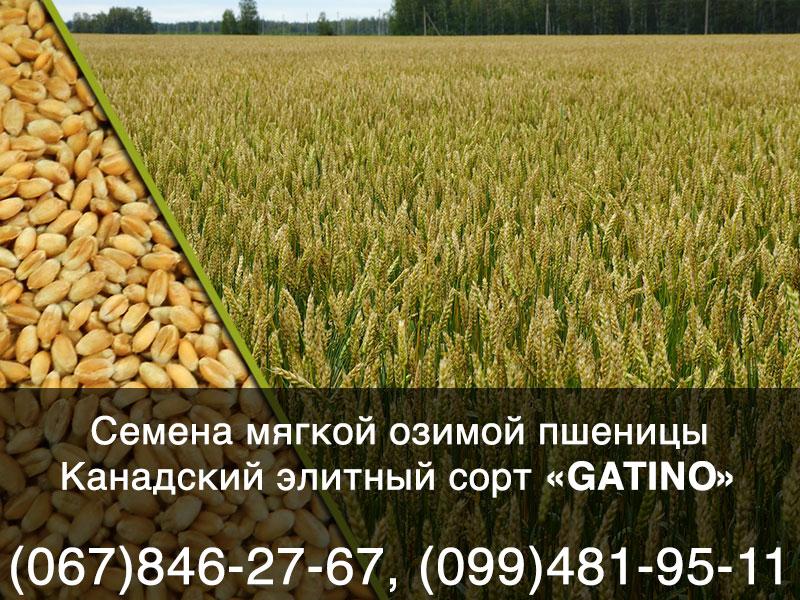КУПИТЬ Семена озимой пшеницы: канадский мягкий трансгенный сорт GATINO