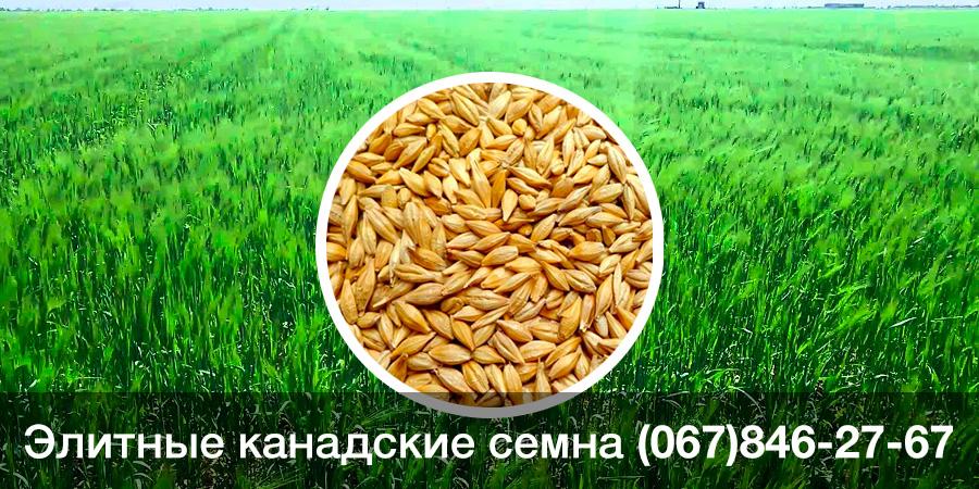 Купить семена ячменя двуручки — канадский ГМО сорт ATLIN