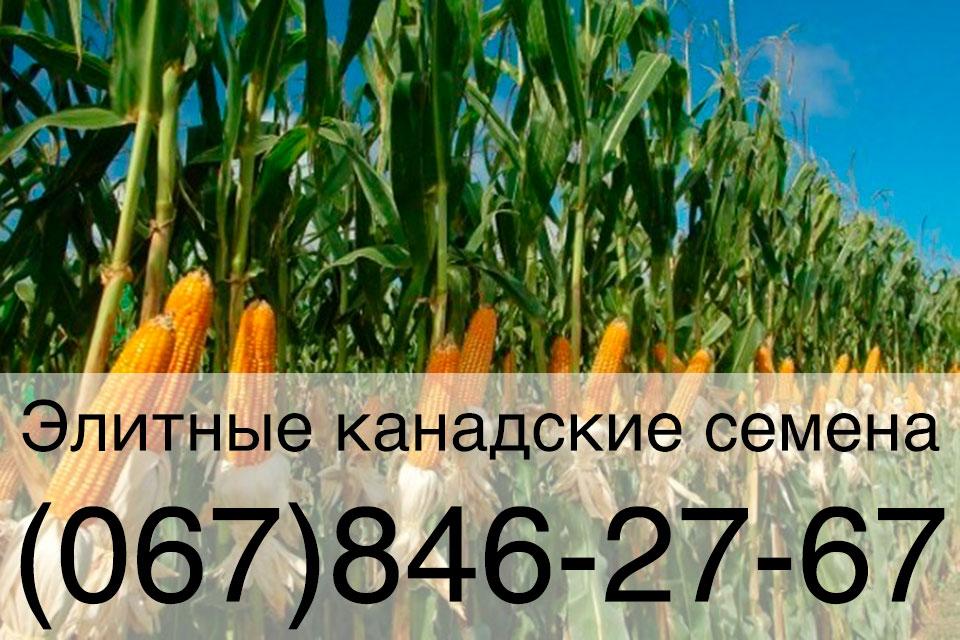 Семена кукурузы — ярый канадский трансгенный гибрид OTMI FS 466 (ГМО)
