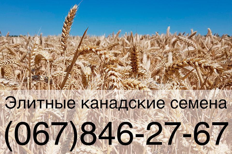Семена мягкой пшеницы двуручки — канадский трансгенный сорт EVANS (ГМО)