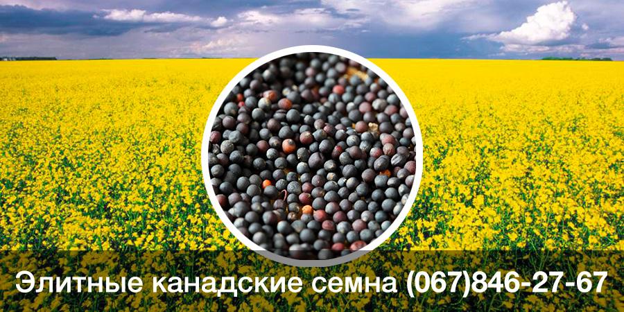 Купить семена рапса — ярий ГМО сорт THELON F 69 Bt