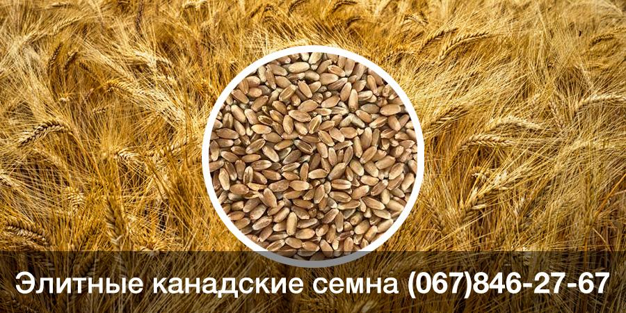Купить семена ярой пшеницы — твердый канадский ГМО сорт MORENO